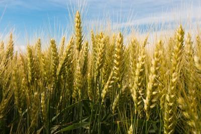 Przeceny zbóż