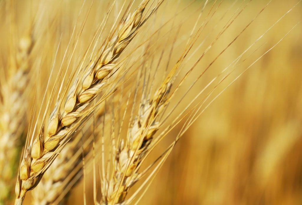 Zbliżenie na kłosy zbóż