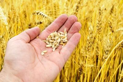Przeceny zbóż trwają