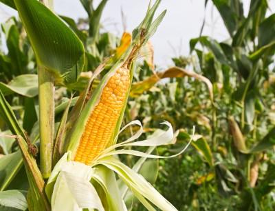 Żniwa kukurydzy w USA