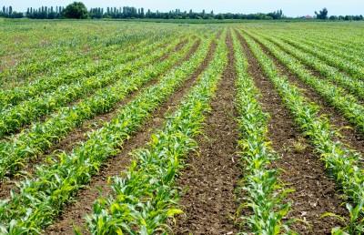 Francja podnosi przewidywania zbiorów kukurydzy