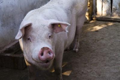 Sytuacja na krajowym rynku – świnie