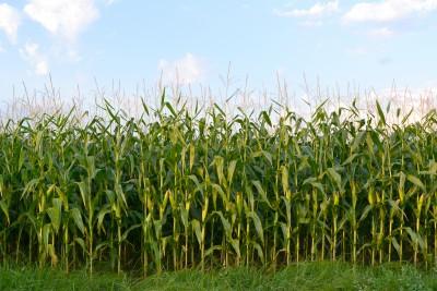 Kukurydza i jesienne żniwa