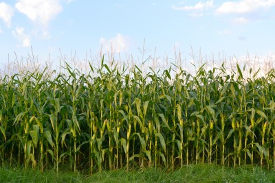 Dobry sezon dla kukurydzy