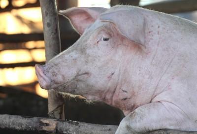 Lekkie ceny ciężkich świń