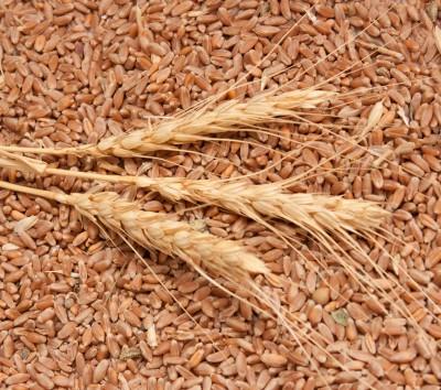 Problemy z pszenicą