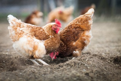 Ceny kurczaków na rynku krajowym