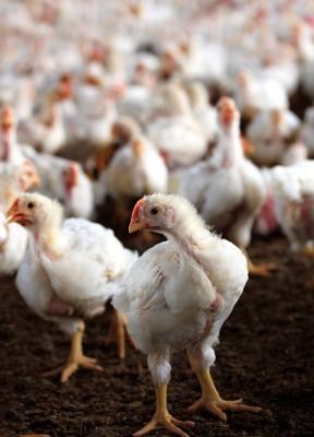 Kurczak w pięciu smakach