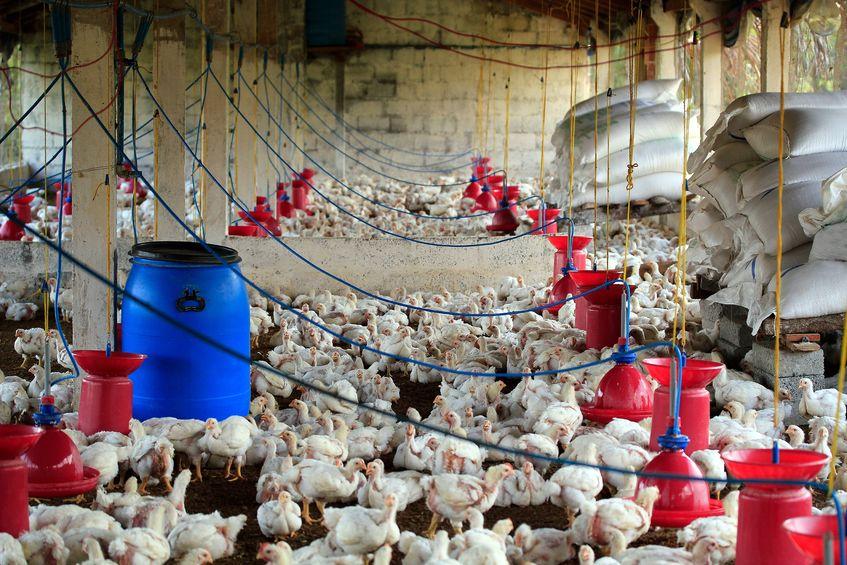 Ceny kurczaków ruszyły w górę