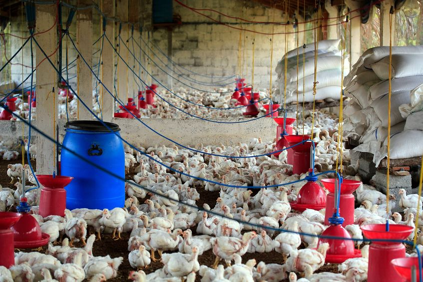 Sytuacja na rynku drobiu – ceny mięs