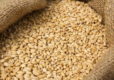 Podaż pszenicy w bieżącym sezonie (USDA)