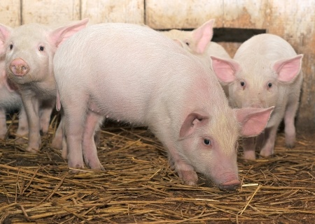 Świnie w potrzasku