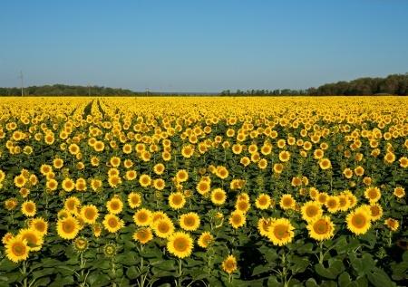 Mniej słonecznika na Ukrainie, ale produkcja nadal wysoka
