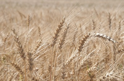 IGC podwyższyła prognozę światowych zbiorów zbóż