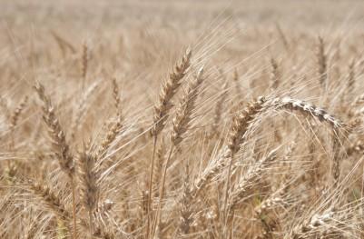 Zboża świat – duży urodzaj pszenicy, braki w kukurydzy