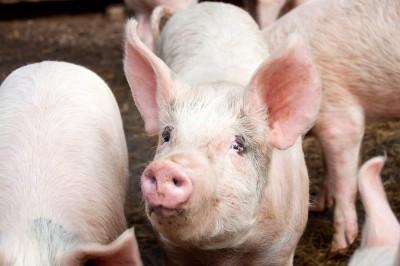 MRiRW: polska wieprzowina dopuszczona do handlu w Szwajcarii