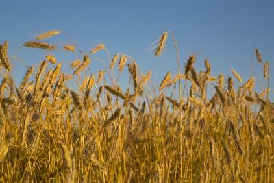 Nowy dołek notowań pszenicy