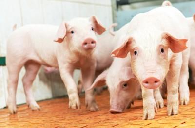 Kolejne miesiące to pewny spadek pogłowia świń