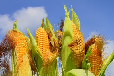 Nowe minima cenowe kukurydzy