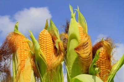 Kukurydza się trzyma