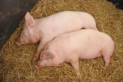 Przed nami dalszy spadek pogłowia świń