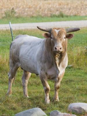 Obserwujemy stałe obniżki cen mięsa byków w kategorii do 2 lat