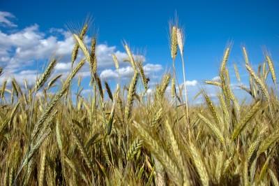 IGC – zbiory zbóż