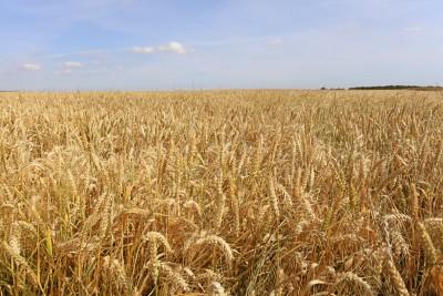 Rekordowa powierzchnia upraw pszenicy w UE