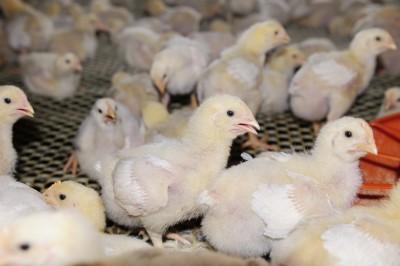 Można spodziewać się kolejnych obniżek cen kurczaków brojlerów