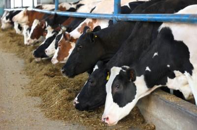 GUS: Wzrosło pogłowie bydła i owiec w grudniu ub.r.