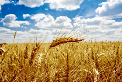 Przeceny na rynku zbóż