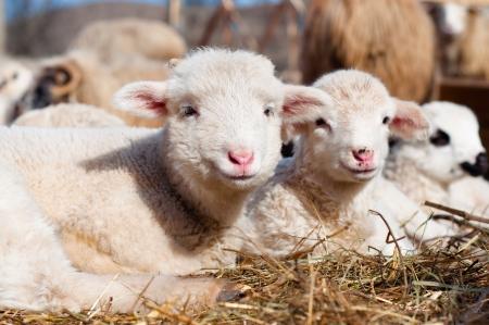Teraz owce
