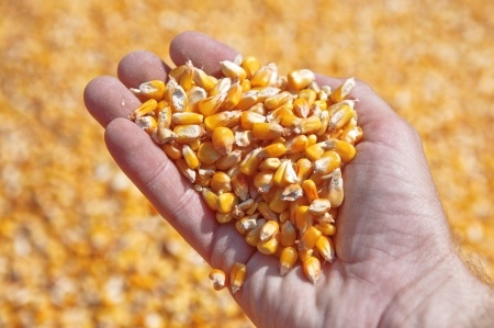 Wzrost zbiorów kukurydzy i oleistych na Ukrainie