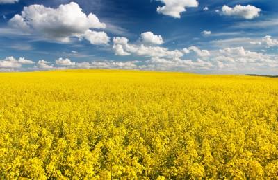 Zbiory oleistych w UE wzrosły o 14 proc.