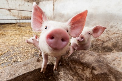 Francuzi mają pomysł na rozwój sektora wieprzowiny