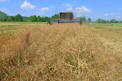 Ceny rzepaku na giełdach rolnych coraz niższe