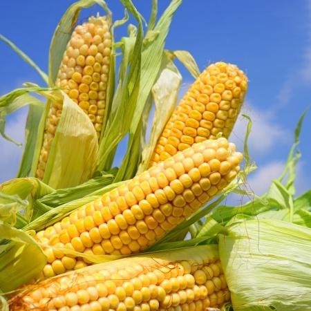 Jeszcze dużo kukurydzy do zbioru