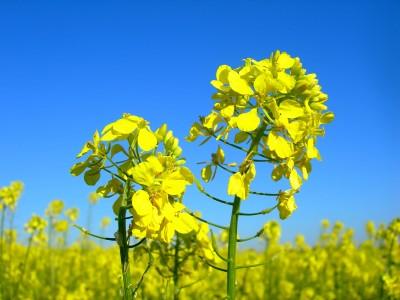Obfite opady deszczu mogą spowodować porażenie upraw zbóż i rzepaku