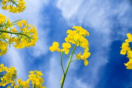 Prognozy wzrostu zbiorów rzepaku na Ukrainie