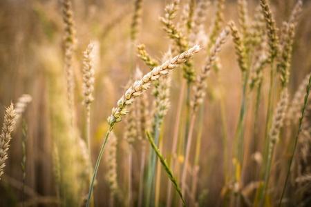 Cena pszenicy w USA najwyższa od końca maja br.