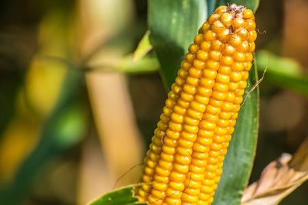 Postępy zbiorów kukurydzy we Francji