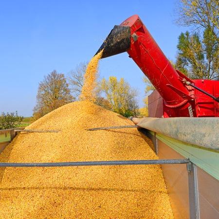 Mały import, duży eksport; zboże na krajowym rynku drożeje