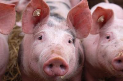 Świnie na szaro