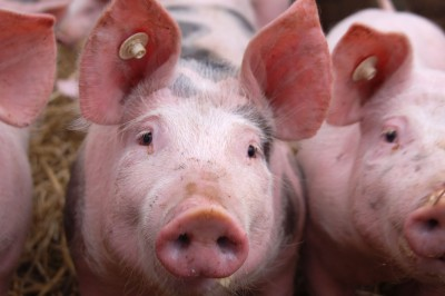 Ukraina gotowa do otwarcia rynku dla polskiej wieprzowiny