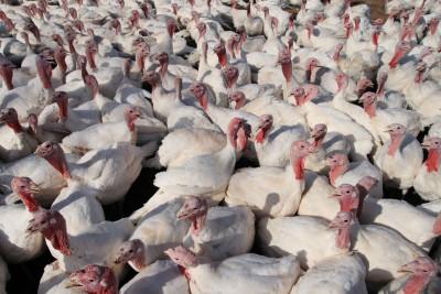 Wielkopolski samorząd rozdał ponad pół tysiąca piskląt gęsi