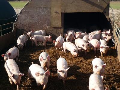 W I kwartale 2013 r. rentowność produkcji trzody chlewnej pozostała na niskim poziomie