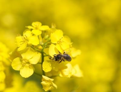 Rzepak jary w ub.r. stanowił 2 proc. powierzchni upraw rzepaku w Polsce