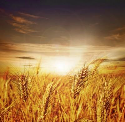Średnie plony dla pszenicy według KE