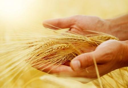 Spadają światowe ceny pszenicy. W Polsce podtrzymywał je słaby złoty i sytuacja w Rosji
