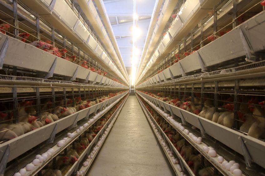 Polska największym producentem drobiu w UE